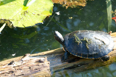 Young snapping turtle slowly climbing an old tree trunk in the water Stock Photo - 17431355