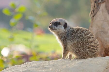Cute Mongoose sitting on a rock looking around Stock Photo - 17921981