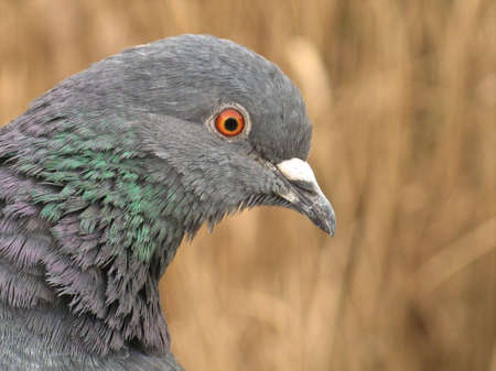 Closeup shot of a common pigeon in front of some brownish reed photo