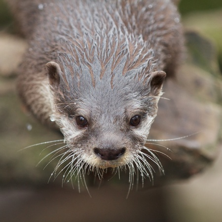 small clawed: Closeup shot of a small-clawed otter waiting for its food Stock Photo