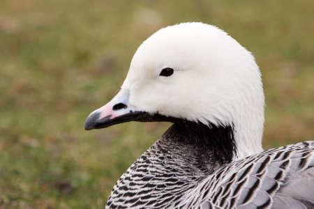 Magellan or Upland Goose sitting in the grass, closeup shot photo