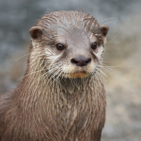 Portrait of a small-clawed otter standing upright