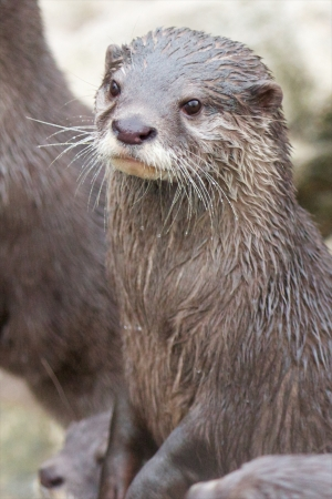 Portrait of a small-clawed otter standing upright Stock Photo - 17922189