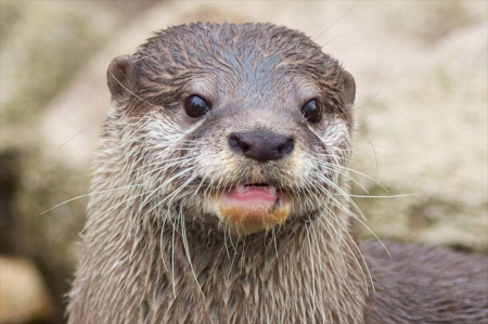 Small-clawed otter with a half-opened mouth, closeup shot