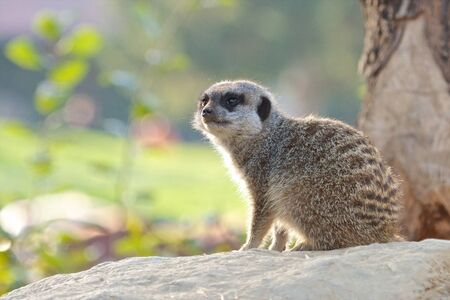 Cute meerkat sitting on a rock in the warm summer sun Stock Photo - 18006453