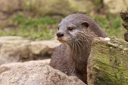 Cute small-clawed otter sitting behind a rock and a tree trunk Stock Photo - 18006456