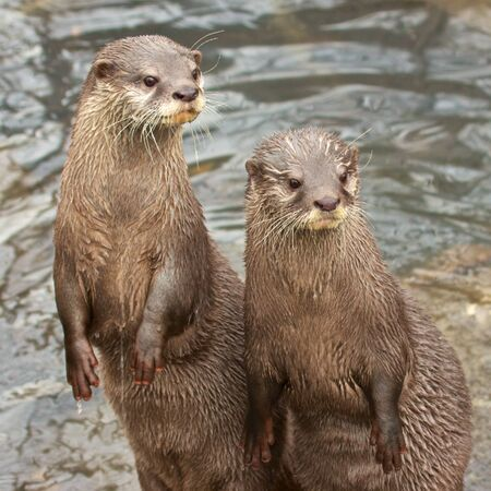small clawed: Two small-clawed otters sitting up next a river, looking out curiously Stock Photo