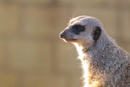 freiburg: Cute meerkat, a kind of mongoose, enjoying the evening sun on its fur Stock Photo