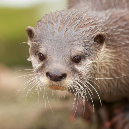 Extreme closeup shot of a cute small-clawed otter with water drops in its whiskers Stock Photo - 18655776