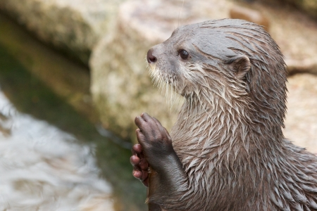 small clawed: Cute small-clawed otter rubbing its hands Stock Photo