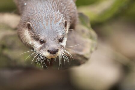 small clawed: Closeup shot of a cute small-clawed otter waiting for its food Stock Photo