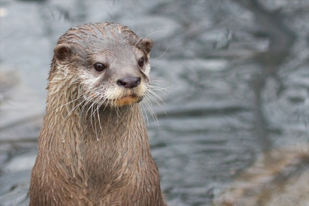 Closeup of a n Asian small-clawed otter at a river bank Stock Photo - 19903288