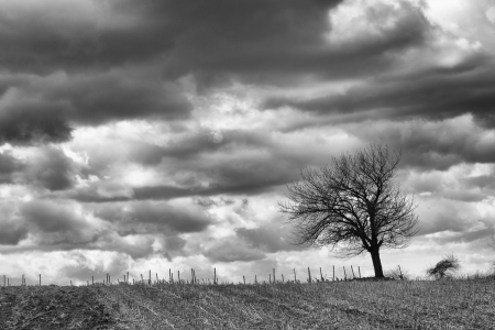 Lonely tree on a field in front of a vineyard with a stormy sky, monochromatic version