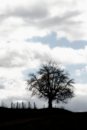 Silhouette of a tree on a vineyard against a stormy sky photo