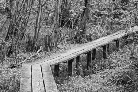 Wooden walkway through a swamp with trees and undergrowth along the way - monochromatic version photo