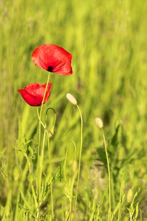 Two red poppy flowers on a green summer meadow Stock Photo