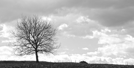 Lonely tree on a field in front of a vineyard with a stormy sky Standard-Bild