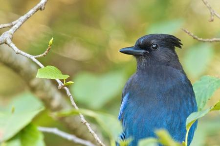 green jay: Azul Jay estelar que oculta entre las hojas de un árbol Foto de archivo
