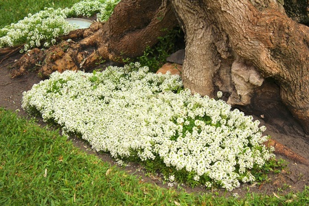 White flowers around the roots and trunk of an ancient olive tree on Majorca island, Spain photo