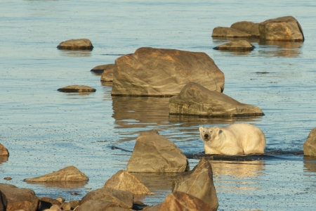 arctic waters: Polar Bear walking between rocks in the cold waters of the Hudson Bay at the shores of the arctic tundra in Manitoba, Canada Stock Photo