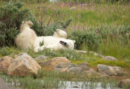 wallowing: Cute Polar Bear wallowing in the arctic tundra of Manitoba, Canada