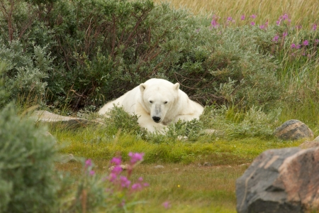 wallowing: Lazy Canadian Polar Bear wallowing and sleeping in the the Arctic tundra of the Hudson Bay near Churchill, Manitoba in summer