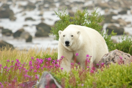 polar bear: Canadian Polar Bear walking in the colorful arctic tundra of the Hudson Bay near Churchill, Manitoba in summer Stock Photo