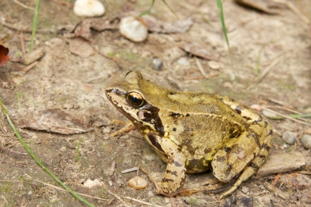 Closeup portrait of a common European frog on the forest ground