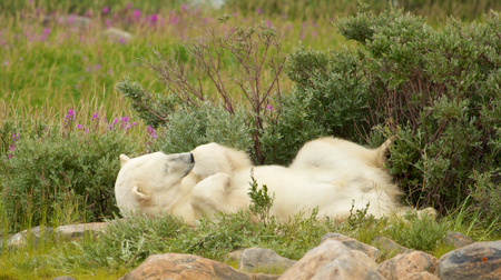 wallowing: Lazy Canadian Polar Bear wallowing, stretching and sleeping in the the Arctic tundra of the Hudson Bay near Churchill, Manitoba in summer Stock Photo