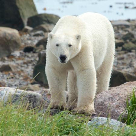 churchill: Curious Canadian Polar Bear walking along the shore of the Hudson Bay near Churchill, Manitoba, in summer
