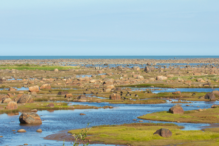 View over the stone desert of Hudson Bay, Canada, during low tide with rocks and stones in the tidal pools and Canada Geese on the ground photo