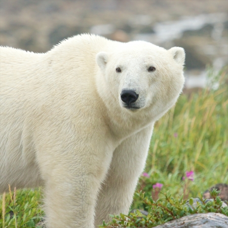 Ours polaire canadienne marchant dans la toundra arctique color� de la baie d'Hudson pr�s de Churchill, au Manitoba, en �t� photo