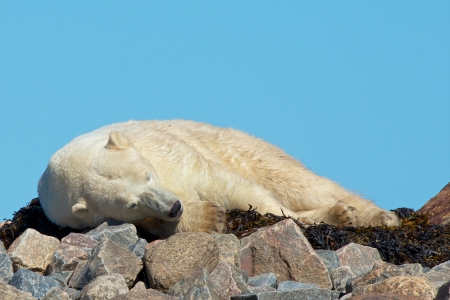 wallowing: Lazy Canadian Polar Bear wallowing, stretching and sleeping on some rocks next to the arctic tundra of the Hudson Bay near Churchill, Manitoba in summer Stock Photo
