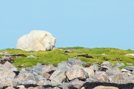 wallowing: Lazy Canadian Polar Bear wallowing, stretching and sleeping on a grass patch in the arctic tundra of the Hudson Bay near Churchill, Manitoba in summer