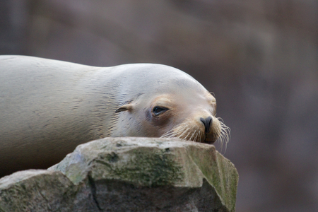 wallowing: Lazy sea lion sleeping and wallowing on a rock
