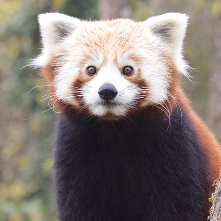Portrait of a cute Red Panda, an endangered species from the Himalayas photo