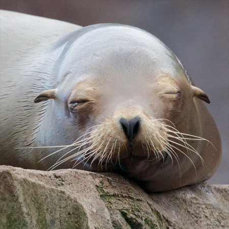 Lazy sea lion sleeping and wallowing on a rock