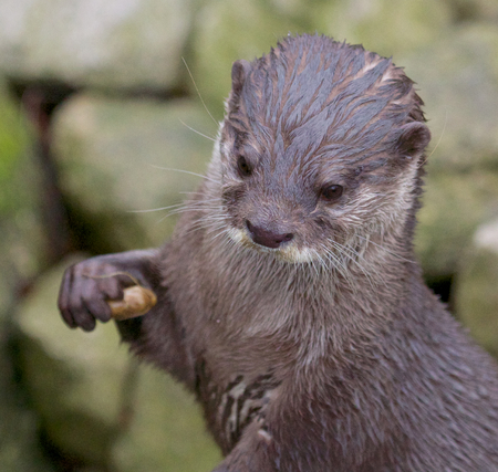 small clawed: Portrait of a small-clawed or Asian otter