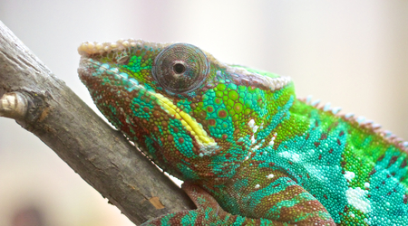 Portrait of a lurking panther chameleon on a branch photo