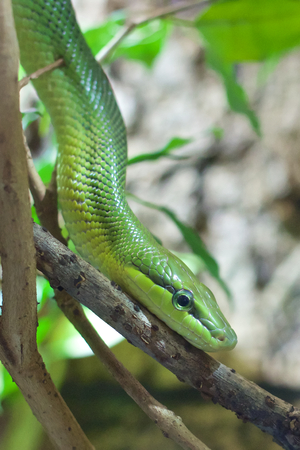 Red-tailed ratsnake crawling down a branch in the jungle of Malaysia photo