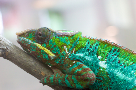 Closeup shot of a panther chameleon photo