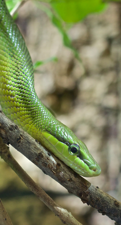 Arboreal rat snake crawling down a branch looking out for prey photo