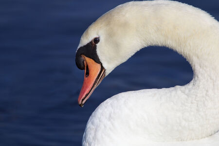 Portrait of a white swan at the shore of the River Rhine photo