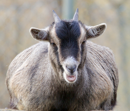 Funny young goat sitting on a rock pulling faces Stock Photo - 27391994