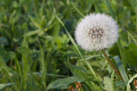 fluffy tuft: Closeup shot of a dandelion on a green meadow Stock Photo