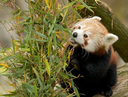 Cute Red Panda eatings bamboo shoots, its favorite lunch photo