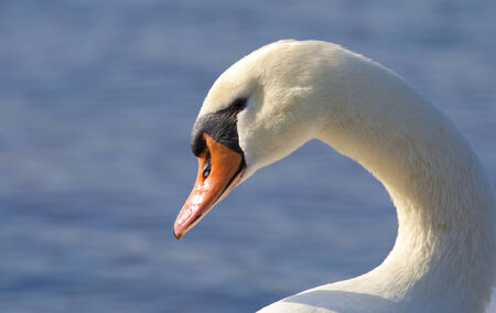 Portrait of a white swan on a river photo
