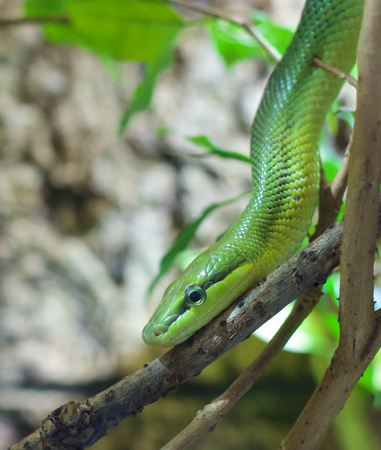 Closeup shot of a rat snake crawling down a tree branch photo