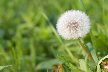 Closeup shot of a dandelion flower on a green meadow photo