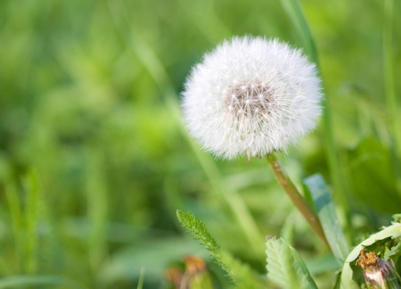 fluffy tuft: Dandelion on a meadow Stock Photo
